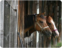 Two horses pearing out of thier stables
